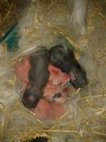 .:Newborn Baby Bunnies!:. by Am3h