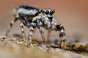 jumping spider II by MartinAmm