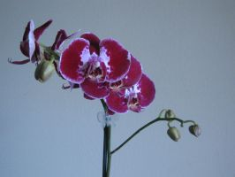 083. Orchid by mynti-stock