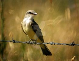 Western Kingbird Immature on W by houstonryan