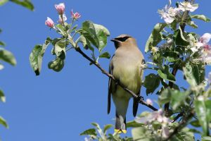 Cedar Waxwing by ridiculyss