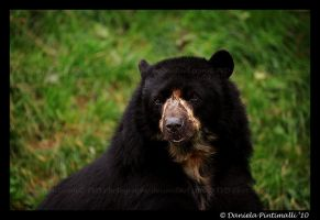 Andean Bear by TVD-Photography