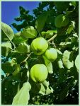 Apples of Joy by philippeL
