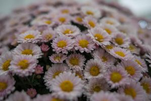 Daisy Flowers by Seafoxmccloud
