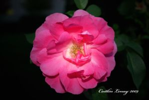 Pink Rose by Caity-lyn