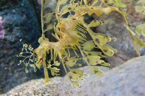 Leafy Sea Dragon by thevictor2225