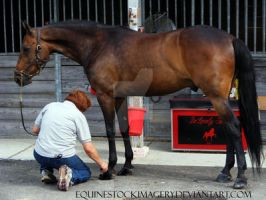 Standardbred 4 by EquineStockImagery