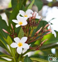 Plumeria's III by Mgbedt420