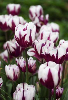 Beautiful Colorful White and Purple Tulips by theresahelmer