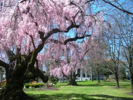 Cherry Tree 4 by Rose-Vicious