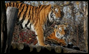 tiger: striped sisters by morho