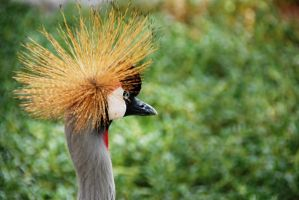 Crowned Crane 6 by lostreality91
