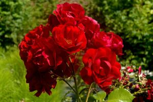 Red Roses by Clangston