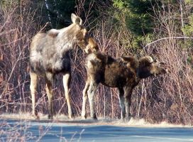 Moose family in the backyard by Cainamoon