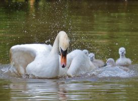 Cygnets Shropshire May 2014 4 6 by melrissbrook