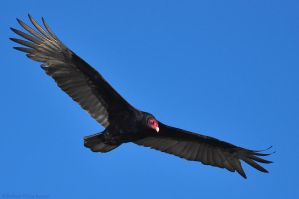 Turkey Vulture by robbobert