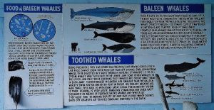 Baleen Whales and their toothed bretheren by LadyGhostEyes