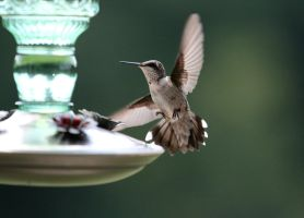 Hummingbird XVIII by Mischi3vo
