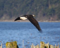 Padilla Bay Bald Eagle by swashbuckler