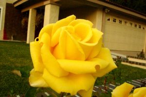 Yellow Rose by steven-psd