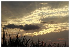 CANE FIELDS DUSK 2 by planetzog