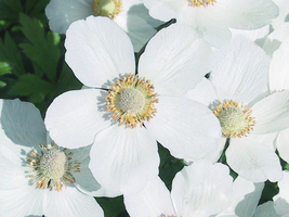 Wood  Anemones by Mishall