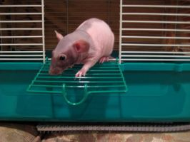 Velvet my Hairless Rat by REALThornwing