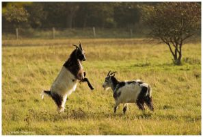 goats fight by Claudia008