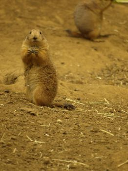 Prairie Dog by knightoptyx