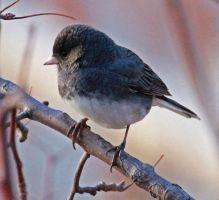 The Dark-eyed, Slate Colored Junco by Snowleopard59