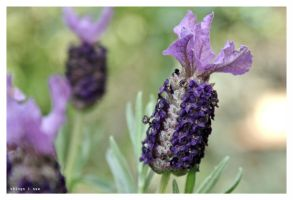 lavandula by things-i-see