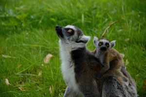 Baby and mama lemur by stefankoem