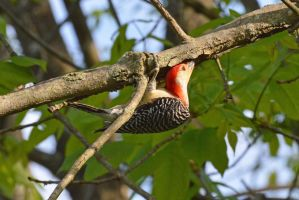 Red-bellied Woodpecker by wreckingball34