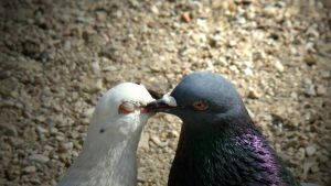 Pigeons in love by Madalinka
