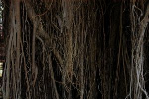 banyan root by blur-stock