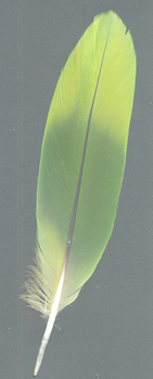 Colored Feather by docmiller