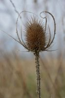 Dry thistle. by A1Z2E3R
