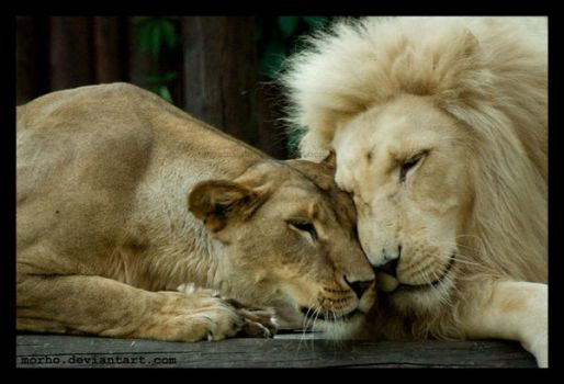 lion love by morho