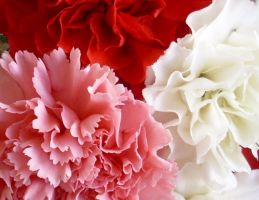 Carnations by Beverlys-World