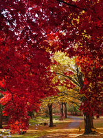 Red maple frame by Mogrianne