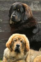 Tibetan Mastiff family photo by SaNNaS