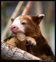 Portrait Of A Tree Kangaroo by CMYKphoto