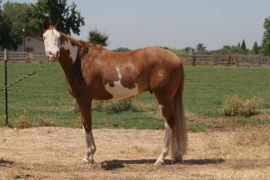 Chestnut Red Roan Paint Pinto Gelding by suuslovertje
