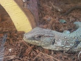 Lizard by Aura-Aquia