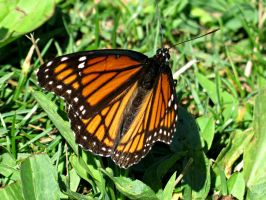 Viceroy in the Grass (3) by Michies-Photographyy