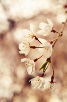 Weeping Cherry by Spademm