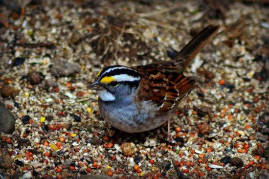 White Throated Sparrow by donnatello129