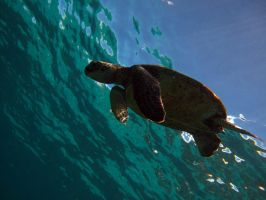 Playful Sea Turtle by X5-442