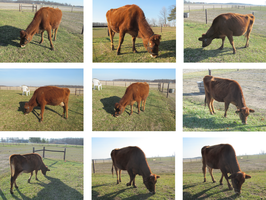 Grazing cow stock pack by Lythre-does-photos