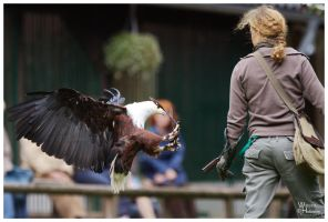 African Fish Eagle by W0LLE